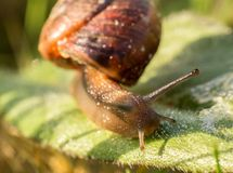 Small snail from up side on green leaf, macro photo Stock Image