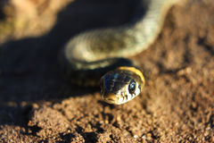 Small snake. With the yellow spots. Focus on the head Royalty Free Stock Images