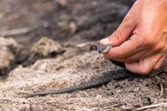 Small snake, known as Natrix tessellata, in man& x27;s hand.  royalty free stock photos