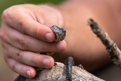 Small snake, known as Natrix tessellata, in man& x27;s hand.  royalty free stock photo