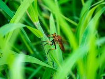 Snipe fly in the grass royalty free stock photos