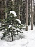 Snow Capped Pinetree Canadian Rocky Mountains. Small snow capped Pinetree in deep snow covered Forrest, Banff National Park, Canada. Winter April 2017 Royalty Free Stock Photography