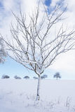 Small snow covered apple tree. In winter with blue sky Royalty Free Stock Photography