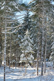 Small snow covered pine tree Royalty Free Stock Photography