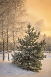 Small snow covered spruce Stock Photography