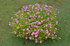 Small soft pink purslane flower bush in the lawn Royalty Free Stock Image