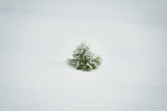 A small solitary pine tree Royalty Free Stock Photography