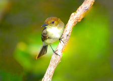 Small Song Bird Clinging to Branch Royalty Free Stock Photo