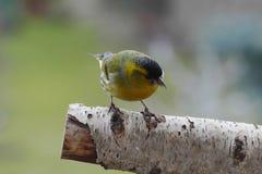 Small song bird. Male siskin small song bird Stock Photo