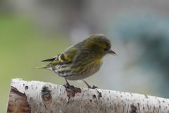 Small song bird. Small siskin song bird on branch royalty free stock image