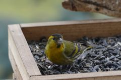 Small song bird. Small siskin song bird feeding Stock Images