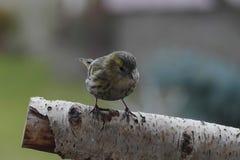 Small song bird. Small siskin song bird on branch Stock Photo