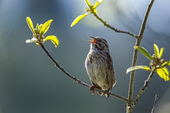 Small song sparrow on branch. A small song sparrow is perched on a branch in Idaho stock photography