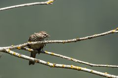 Song sparrow lifts its leg. Small song sparrow perched on a branch has a leg up near Harrison, Idaho royalty free stock images