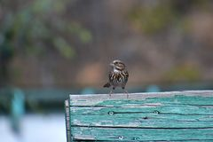 Small Song Sparrow perches on blue board Royalty Free Stock Photography