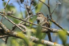 Small song sparrow in tree. Song sparrow Melospiza melodia is perched on a branch by Thompson Lake near Harrison, Idaho royalty free stock images