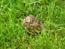 Small song thrush chick sitting in the grass Stock Photos