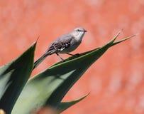 Songbird. A small songbird Stock Image