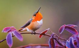 Small songbird on branch Royalty Free Stock Images