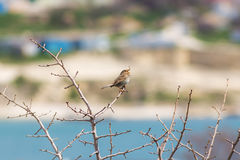 Small songbird on a branch. With buds Royalty Free Stock Image