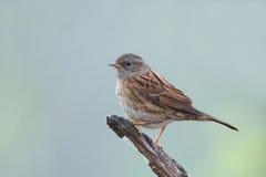 Small songbird Dunnock Prunella modularis Royalty Free Stock Photo