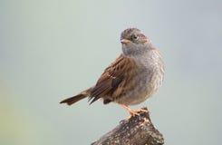 Small songbird Dunnock Royalty Free Stock Photos