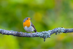 Small songbird - robin. He is sitting on a branch. Looking away Royalty Free Stock Photo