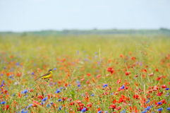 Small songbird in wild flowers Royalty Free Stock Photo