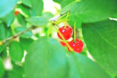 Red, berry, fruit, cherry, tree, nature, green, plant, leaf, food, branch, ripe, berries, forest, summer, leaves, garden, bush, co. Wberry, bunch, autumn, macro Royalty Free Stock Photography