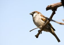 Small Sparrow Stock Image