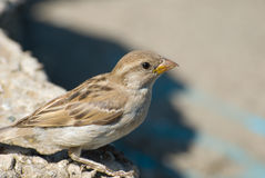 Small sparrow Royalty Free Stock Photos