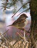 Small Sparrow Stock Images