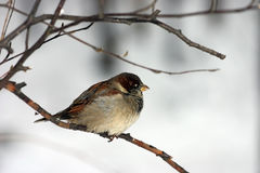 Small sparrow Royalty Free Stock Image