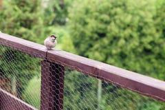 A small sparrow bird sits on a wooden terrace balustrade. A small sparrow bird sits on wooden terrace balustrade stock photo