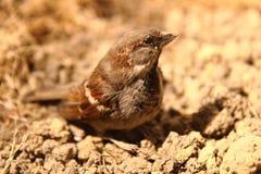 Small sparrow bird Royalty Free Stock Photo