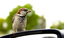 Small sparrow is cadging Stock Photos