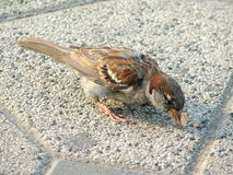 Small Sparrow eating Stock Photography
