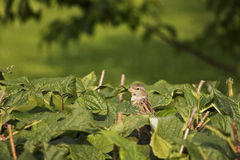 Small sparrow and green plants Royalty Free Stock Images