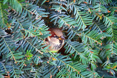 Small sparrow hidden Stock Images