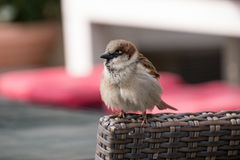 A small sparrow perched on the back of a wicker chair at a restaurant in Berlin, Germany. stock image