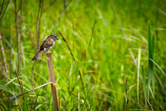 Small Sparrow Perched on Reed Royalty Free Stock Photo