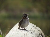 Small sparrow resting on log stock photography