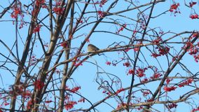 Small sparrow sits on tree branch and eats rowanberry in winter sunny day stock video footage
