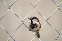 Small Sparrow sitting on a fence Royalty Free Stock Images