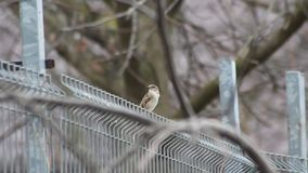 Small sparrow sitting on a fence in the wind stock video footage