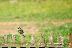 Small sparrow sitting on the fense. Stock Photography