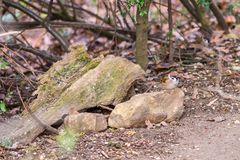 Small sparrow sitting on the stone in autumn forest, waiting for food. Brown background royalty free stock images