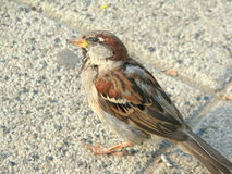 Small Sparrow. Standing closeup,details Royalty Free Stock Image