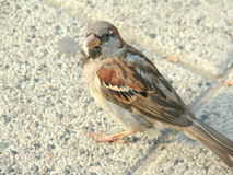 Small Sparrow. Standing closeup,details Royalty Free Stock Images