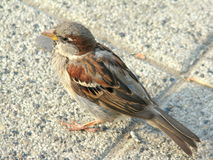 Small Sparrow Royalty Free Stock Images